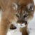 iStock_Cougar